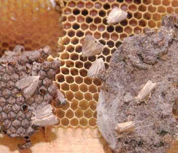 Восковая моль (пчелиная огневка)