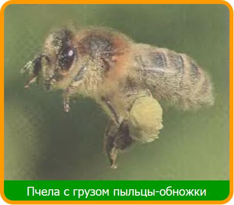 Из цветочной пыльцы пчелы делают пчелиную обножку